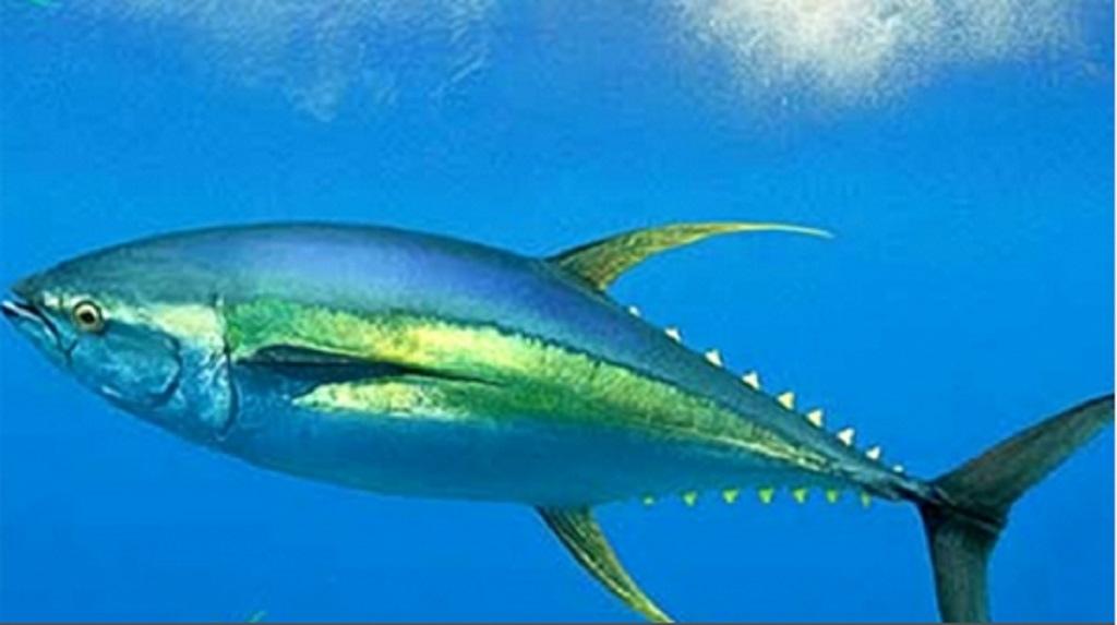 atún-aleta-amarilla