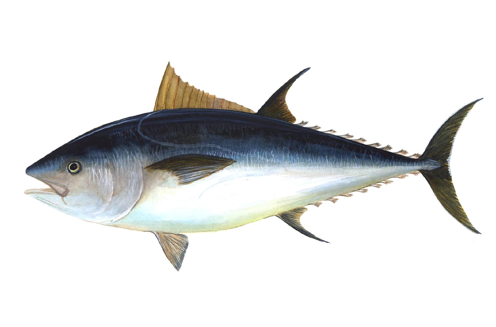 atún-rojo