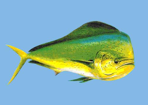 pez-dorado