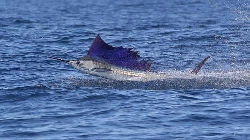 pez-vela