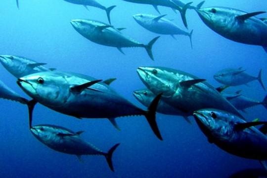 atunes-rojos