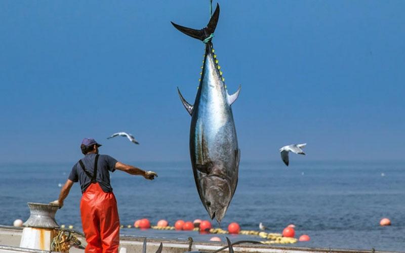capturar-un-atun-rojo