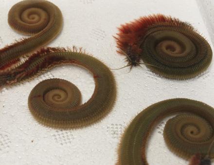 gusano-de-celdas-pesca